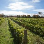 Le vignoble du Négondos est en culture biologique depuis sa création en 1993