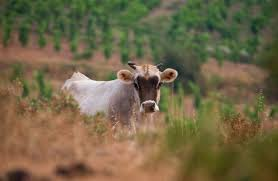 la-vache-lais